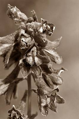 Wild Flower In Sepia Print by Mario Brenes Simon