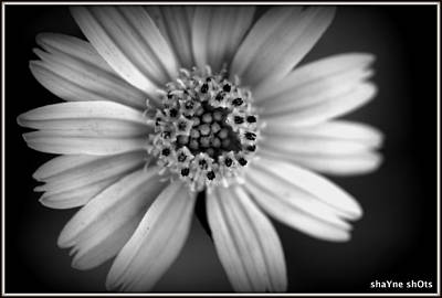 Photograph - Wild Flower by Shayne Johnson Fleming
