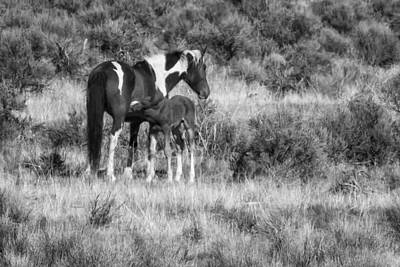 Photograph - Wild Foal Nursing After A Run Bw by Belinda Greb