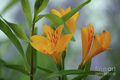 Photograph - Wild Garden Lilies by Carol Eliassen
