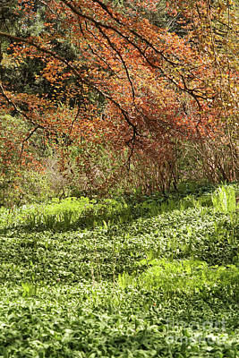 Photograph - Wild Garlic Under The Trees by Rudi Prott