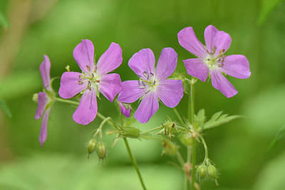 Photograph - Wild Geranium  by Alan Lenk