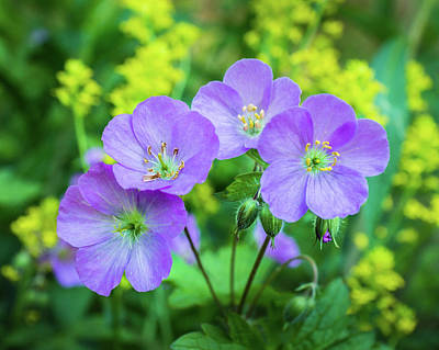 Photograph - Wild Geranium Family Portrait by Bill Pevlor