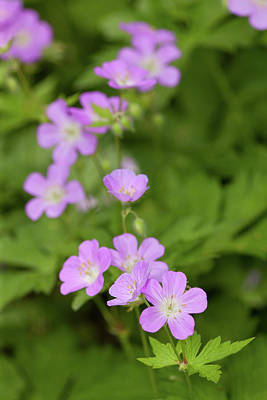 Photograph - Wild Geranium Flowers by Bernard Lynch