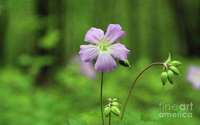 Photograph - Wild Geraniums 0929 by Jack Schultz