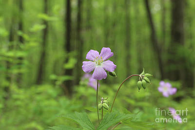 Photograph - Wild Geraniums 0931 by Jack Schultz