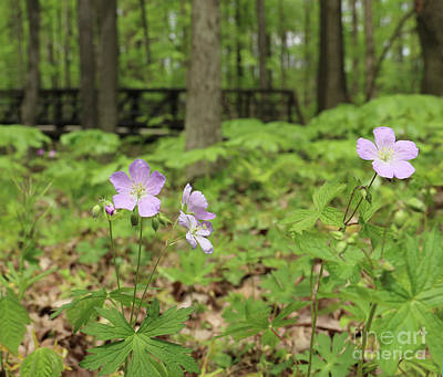 Photograph - Wild Geraniums  0944crop by Jack Schultz