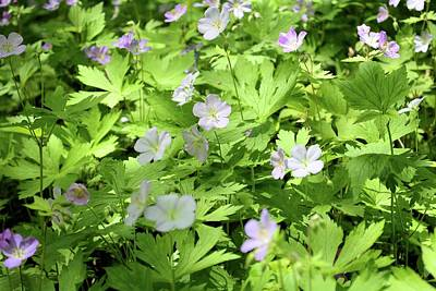 Photograph - Wild Geraniums by Bonfire Photography