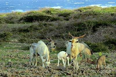Photograph - Wild Goats by Frank Townsley