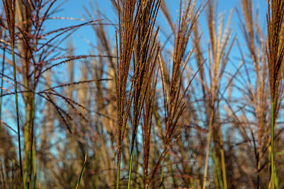 Photograph - Wild Grass by David Hare