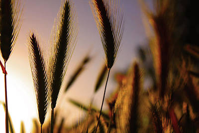 Photograph - Wild Grasses At Sunset by Richard Stephen