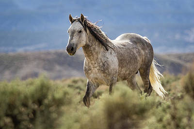 Photograph - Wild Gray Mustang Stallion by Dawn Key