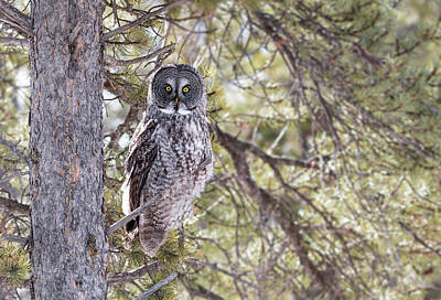 Photograph - Wild Great Grey Owl by Celine Pollard