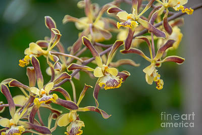 Photograph - Wild Growing Orchids In Mexico by Cheryl Baxter