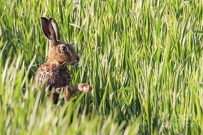 European Hare Wall Art - Photograph - Wild Hare Bathing In The Morning Sunlight by Simon Bratt Photography LRPS