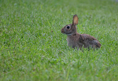 Photograph - Wild Hare by Buddy Scott