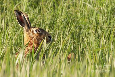European Hare Wall Art - Photograph - Wild Hare Peeking Above The Crops by Simon Bratt Photography LRPS