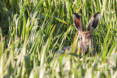 European Hare Wall Art - Photograph - Wild Hare In Crops Looking At Camera by Simon Bratt Photography LRPS
