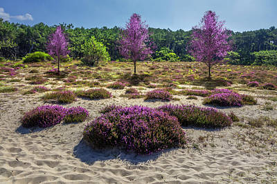 Photograph - Wild Heather In The Dunes by Debra and Dave Vanderlaan
