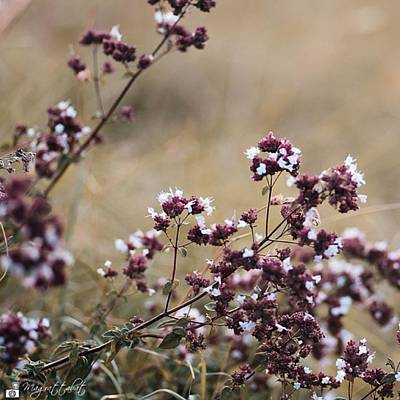 Botanical Photograph - Wild Herbs  #herbs by Mandy Tabatt