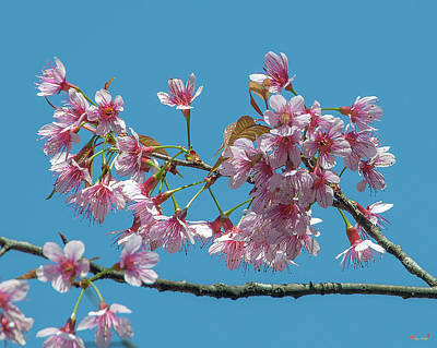 Photograph - Wild Himalayan Cherry Dthn0220 by Gerry Gantt