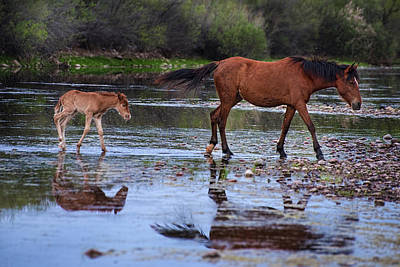 Photograph - Wild Horse And Foal Cross Salt River by Dave Dilli