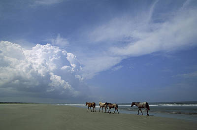 Wild Horses Roaming A Georgia Coast Print by Michael Melford