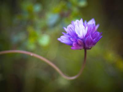 Photograph - Wild Hyacinth by Alexander Kunz
