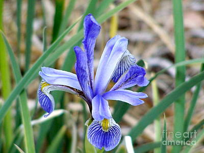 Photograph - Wild Iris At South Fork by Pamela Walrath
