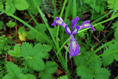 Photograph - Wild Iris At Wilson Creek #2 by Ben Upham III