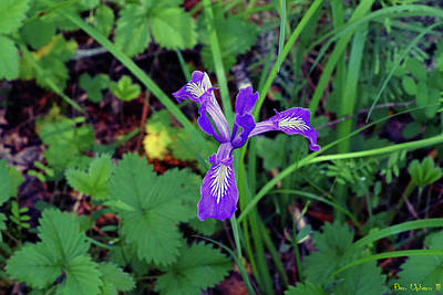 Photograph - Wild Iris At Wilson Creek #3 by Ben Upham III