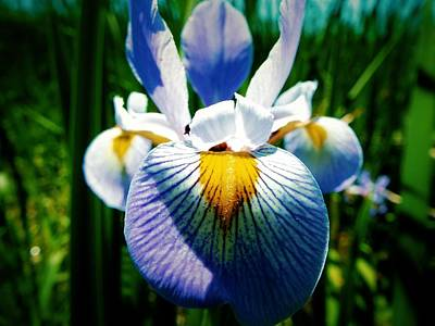 Photograph - Wild Iris by Gilbert Photography And Art