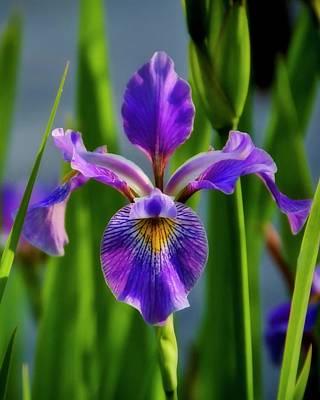 Photograph - Wild Iris In Flight by Flying Z Photography by Zayne Diamond