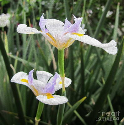 Photograph - Wild Iris by Kathie Chicoine