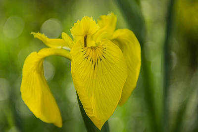 Photograph - Wild Iris by Randy Bayne