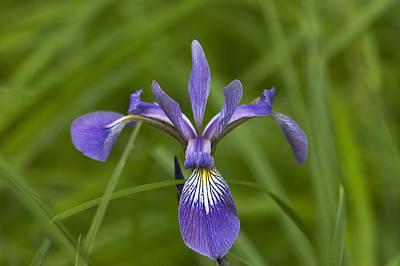 Wild Iris Art Print by Steve Kenney