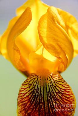 Photograph - Wild Iris by Viviana  Nadowski