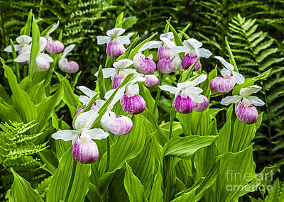 Wild Lady Slipper Flowers Art Print by Edward Fielding