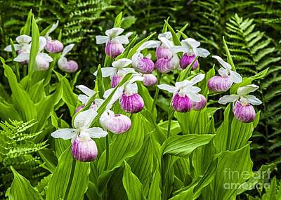 Photograph - Wild Lady Slippers by Edward Fielding