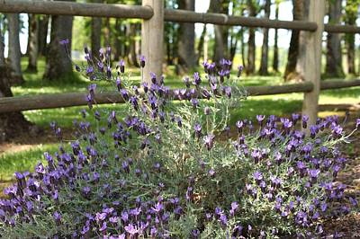 Photograph - Wild Lavender by Angi Parks