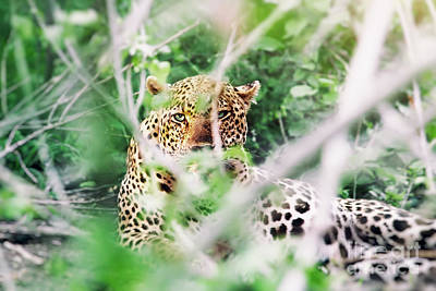 Photograph - Wild Leopard by Anna Om