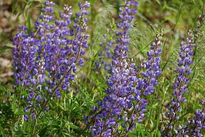 Photograph - Wild Lupines by Tim Good