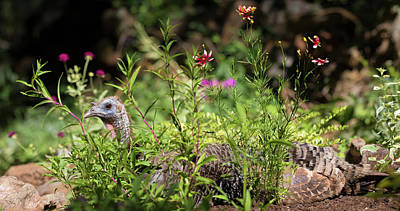 Photograph - Wild Mama Turkey In The Garden by Kathleen Bishop