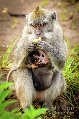 Photograph - Wild Monkey Eating An Orange While Holding Her Baby On Top Of Mount Batur Volcano In Bali, Indonesia by Global Light Photography - Nicole Leffer