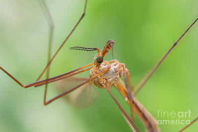 Photograph - Wild Mosquito With Nice Eyes by Gurgen Bakhshetsyan