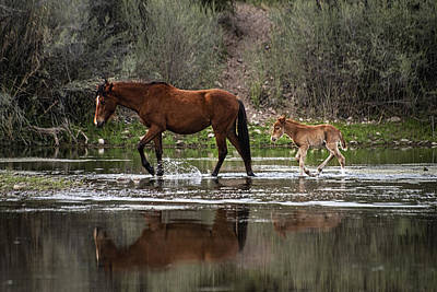 Photograph - Wild Mother And Foal Horses Walk In The Salt River  by Dave Dilli
