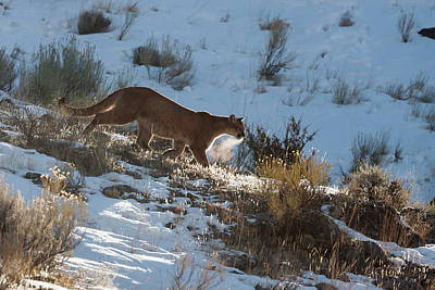 Photograph - Wild Mountain Lion by Mark Miller