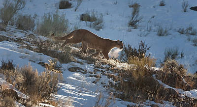 Photograph - Wild Mountain Lion Running At First Light by Mark Miller