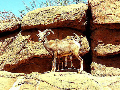 Photograph - Wild Mountain Sheep - Arizona by Merton Allen