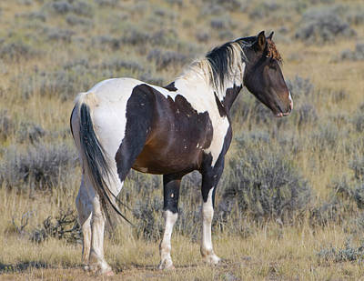Photograph - Wild Mustang 6 by Chris LeBoutillier